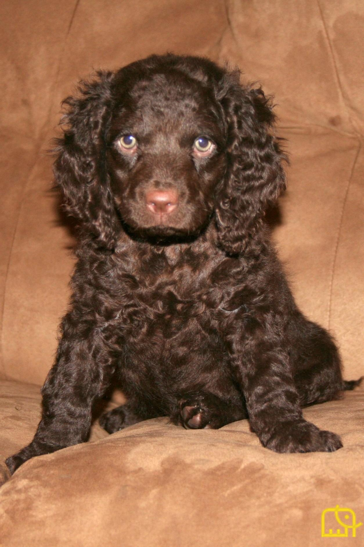 American Water Spaniel Puppies For Sale Goldenacresdogs Com